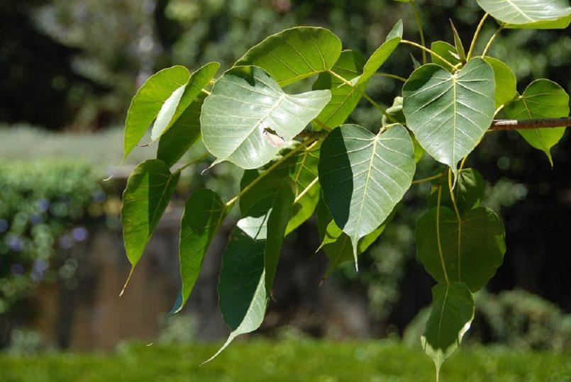 पीपल के पेड़