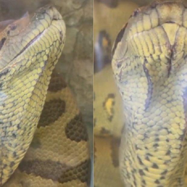 Anaconda In water