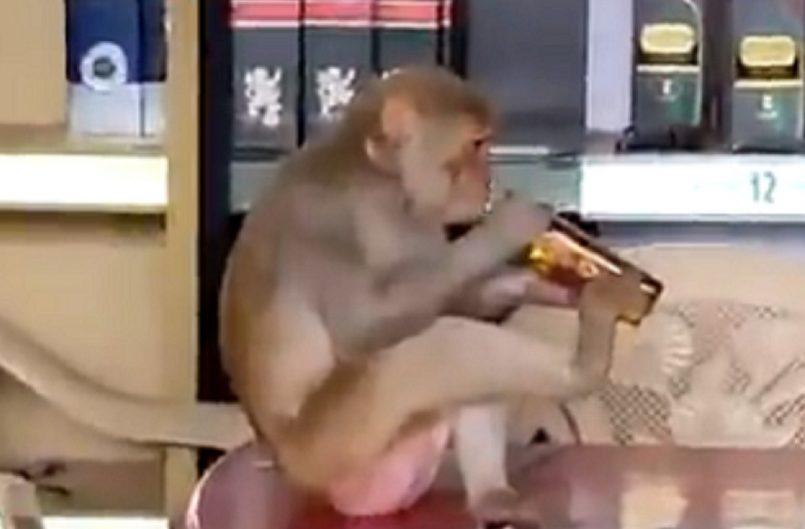 Monkey In Madhya Pradesh Wine Shop