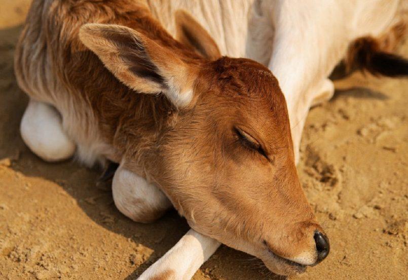 Cow In Pakistan