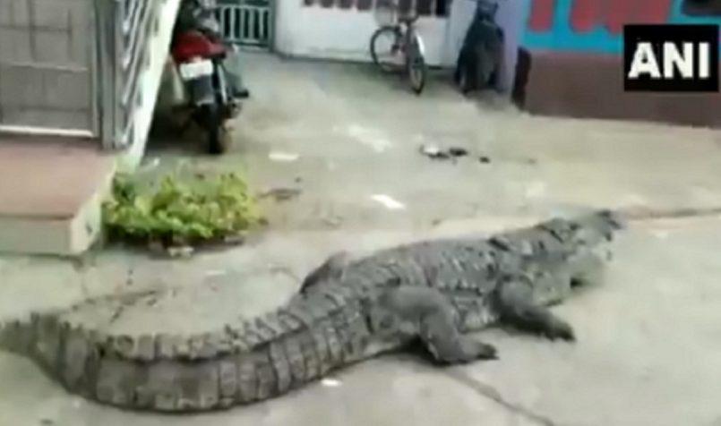 crocodile In colony