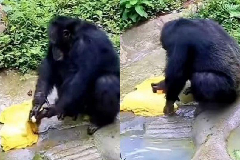 chimpanzee Viral Video